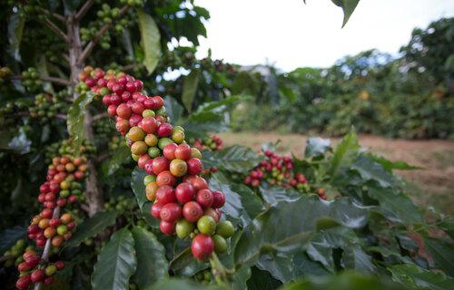 Descrição: Frutos de café amadurecendo no pé. Foto: Arquivo / CNA