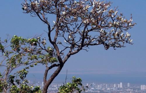 Árvore do Cerrado; bioma que cobre 90% do Tocantins. Foto: Fernando Alves/Governo do Tocantins
